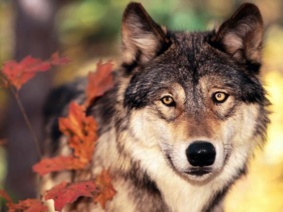 Colour Wolf Wallpaper