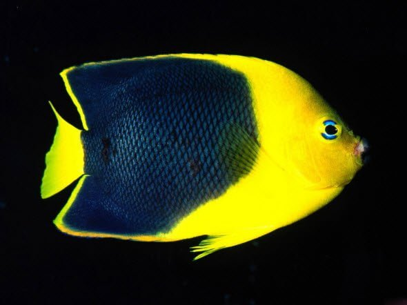 Free download Wallpaper Pack Underwater HD Blue and yellow fish