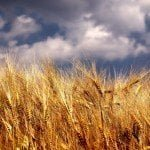 Wheat Field and Clouds Free Wheat Wallpaper Pack