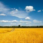 Wheat Field on a sunny day Free Wheat Wallpaper Pack