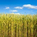 Wheat and Blue Sky Free Wheat Wallpaper Pack