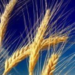 Wheat and Sky Free Wheat Wallpaper Pack