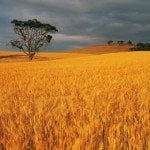 Wheat field and lonely tree Free Wheat Wallpaper Pack