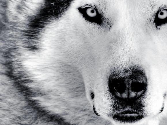 Wolf Wallpaper Close up
