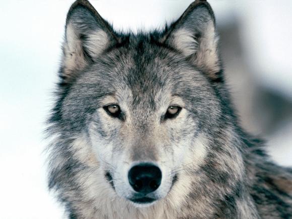 Wolf Wallpaper Cute