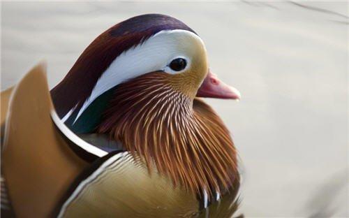Wallpaper : Mandarin duck