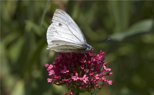 Wallpaper : White butterfly